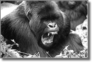 gorilladpshdw